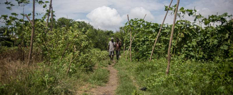 Two farmers walking in a crop field in Ghana